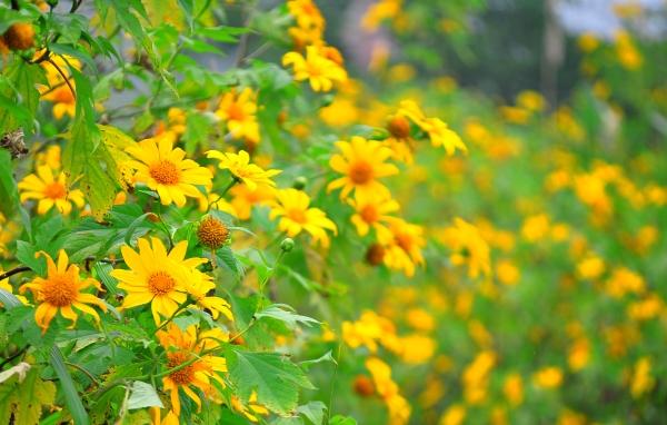 Tour ngắm hoa Dã Quỳ – Đồi Cỏ Hồng – Gia Lai